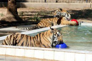 Iraq Baghdad Lo Zoo di Baghdad