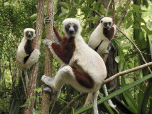 Madagascar Antananarivo Il Parco Lemurs dell'Antananarivo