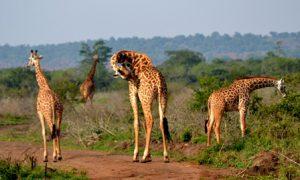 Ruanda Kigali Il Parco Nazionale Akagera di Kigali