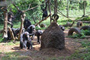 Sierra Leone Freetown Il Santuario degli Scimpanzé Tacugama di Freetown
