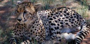sudafrica-pretoria-il-centro-del-ghepardo-ann-van-dyk-di-pretoria