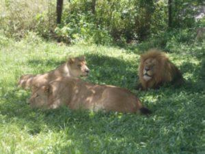 zimbabwe-harare-il-parco-dei-leoni-e-dei-ghepardi-di-harare
