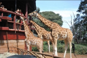 kenya-nairobi-il-centro-delle-giraffe-di-nairobi